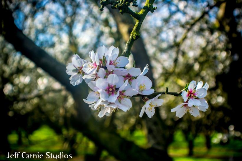 blossom18 (1 of 1)