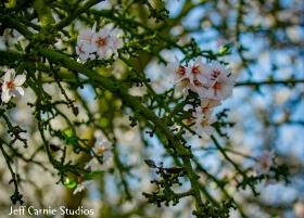 blossom2 (1 of 1)